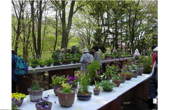 初夏の高山植物展1