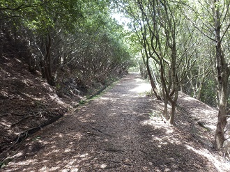 横尾道のウバメガシ林