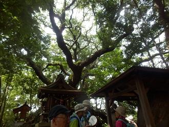 猿田彦神社の大ウバメガシ