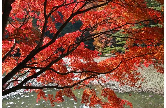 長谷池のイロハモミジ紅葉DSC_0014