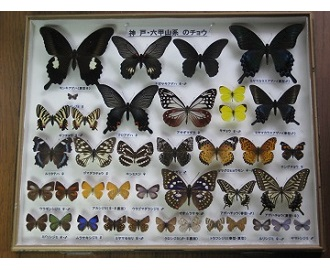 六甲山系のチョウ標本